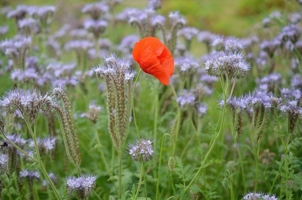 Poppy in field of purple flowers
